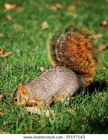 Squirrel digging for nut - stock photo