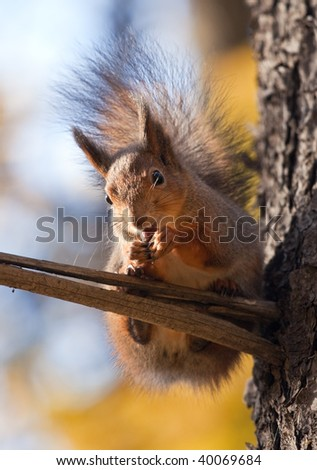 Squirrel eat a nut on a branch - stock photo