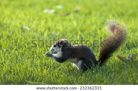 Squirrel eat fruit. Sit in grass.Background and Foreground are grass out of focus. - stock photo