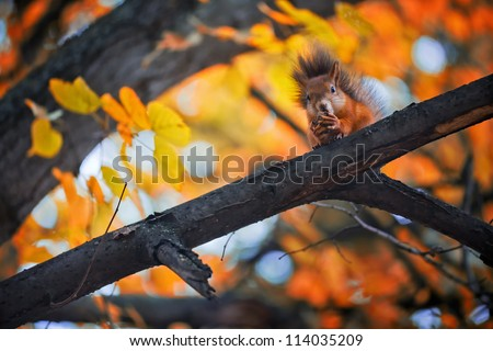 Squirrel eat nuts on branch of autumn tree - stock photo