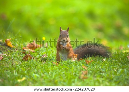 Squirrel eating a nut - stock photo