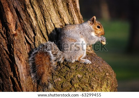 Squirrel eating a nut while standing on a tree trunk.