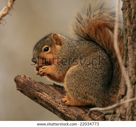 Squirrel Eating Nut - stock photo