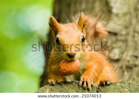 squirrel eating nut on the tree - stock photo