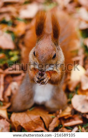 squirrel eating nuts in autumn - stock photo