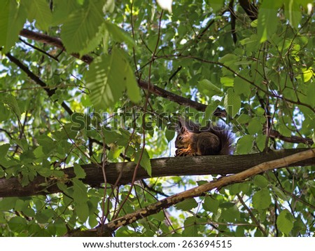 Squirrel eats acorn on a branch in the wood - stock photo