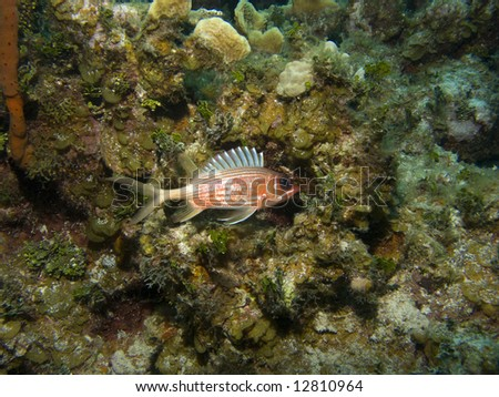 Squirrel Fish at home on a Cayman Island Reef