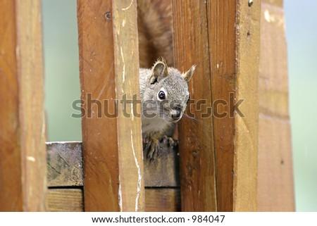 Squirrel hiding - stock photo