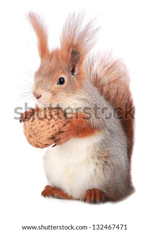 squirrel holds a walnut on a white background - stock photo