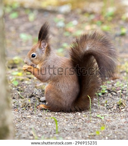squirrel in a park eating nuts - stock photo