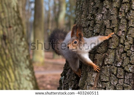 Squirrel in a tree looking curiously. Close-up.  - stock photo