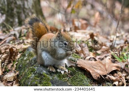 Squirrel in Autumn - stock photo