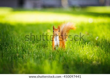 Squirrel in grass in park in summer