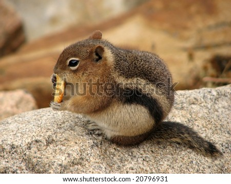 Squirrel in Rocky Mountains National Park - United States of America
