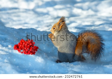 Squirrel in the wood about a mountain ash cluster - stock photo