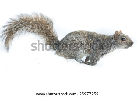Squirrel Isolated white background running  - stock photo