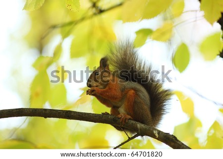 squirrel jumps in the autumn forest - stock photo