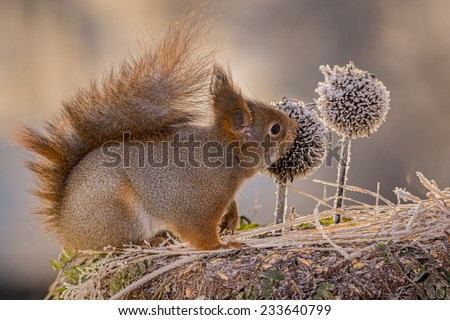 squirrel looking at thistle heads with ice  - stock photo