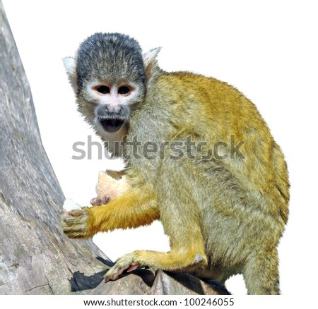Squirrel Monkey - stock photo