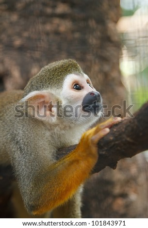 Squirrel Monkey;a Common Squirrel Monkey (Saimiri sciureus) - stock photo