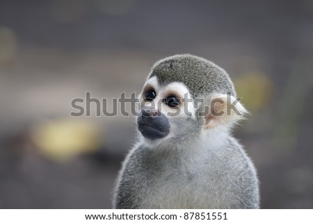 Squirrel monkey from French Guyana