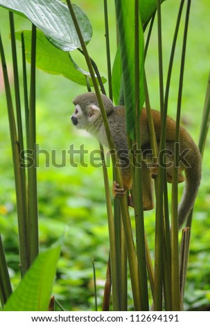Squirrel Monkey in amazon rainforest - stock photo