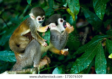 Squirrel Monkey in amazon rainforest - stock photo