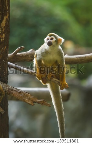 Squirrel monkey in chiangmai zoo chiangmai Thailand