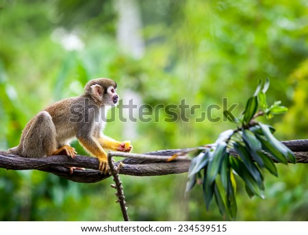 Squirrel monkey in natural habitat, rain forest and jungle, playing and moving around - stock photo