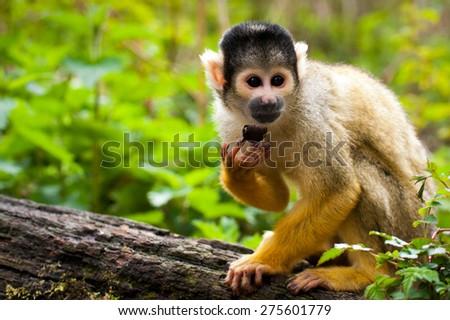 Squirrel monkey (Macro)  - stock photo