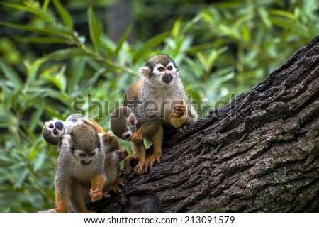 squirrel monkey (Saimiri sciureus)  - Family of small monkeys - stock photo