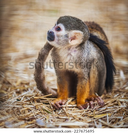 Squirrel monkey sitting, nice blurred background - stock photo