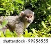 squirrel monkey, sitting on a branch and looking at some unknow danger - stock photo