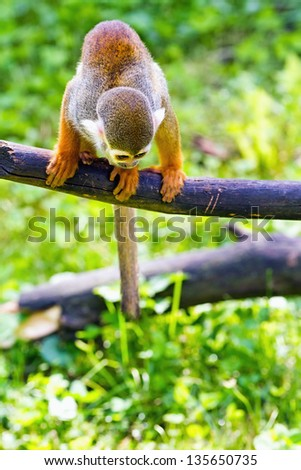 Squirrel monkey sitting on a tree branch - stock photo