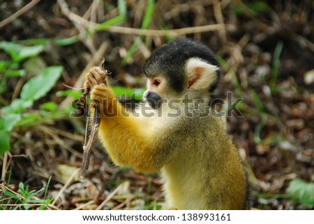 Squirrel monkey studying - stock photo