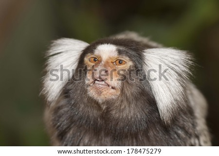 squirrel monkey with big eyes and teeth  - stock photo
