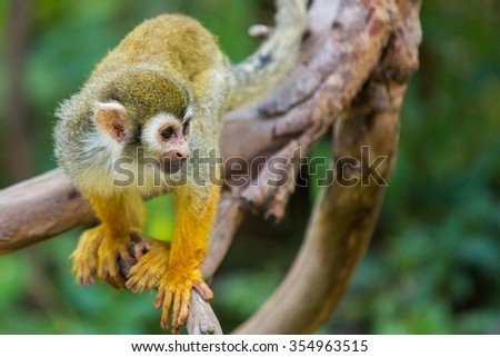 Squirrel monkeys in the trees.
