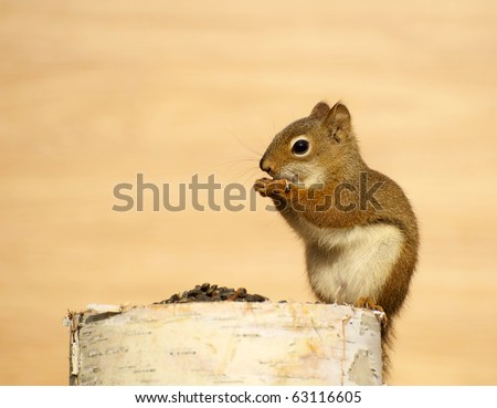 Squirrel on a birch log enjoying some sunflower seeds in the autumn with copy space.