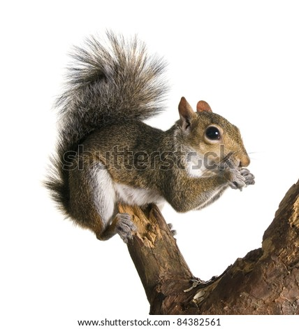 Squirrel on a bough of a tree is sunflower seeds - stock photo