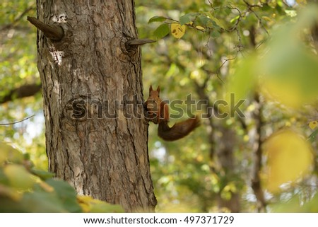 Squirrel on a pine at autumn day