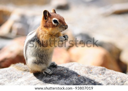 Squirrel on a rock in Banff National Park, Canada - stock photo