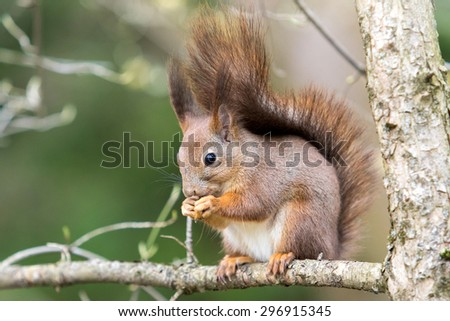 squirrel on a tree eating nuts - stock photo
