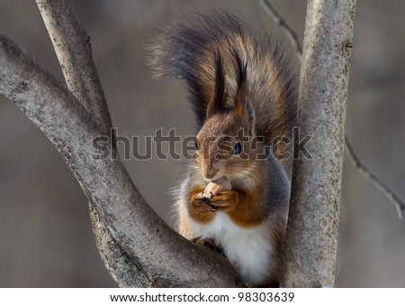 squirrel on a tree with a nut - stock photo
