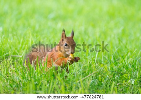 Squirrel on the grass with a nut, Russia, Moscow, park, summer