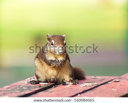 squirrel on the park enjoying the sunflower seeds - stock photo