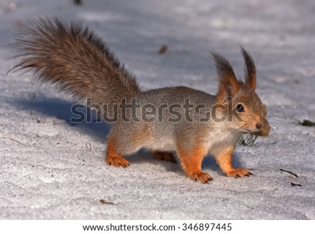 Squirrel on the snow - stock photo