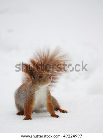 Squirrel on the snow in a winter park