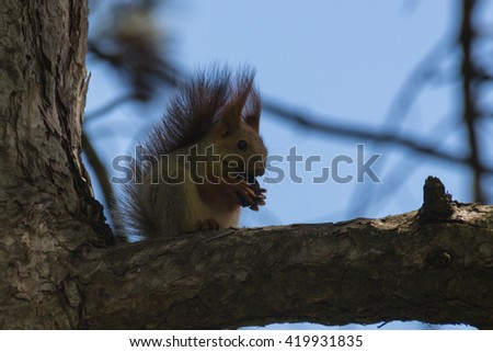 Squirrel on the tree in the park. The genus Sciurus contains most of the common, bushy-tailed squirrels in North America, Europe, temperate Asia, Central America and South America. - stock photo