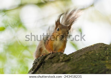 squirrel on tree front closeup - stock photo