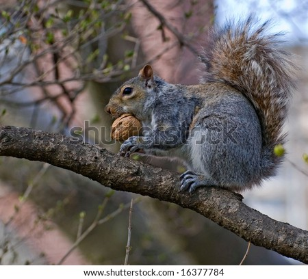 squirrel on tree tries to bite big nut